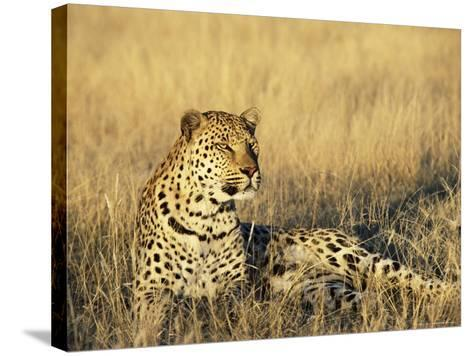 Leopard, Panthera Pardus, in Captivity, Namibia, Africa-Ann & Steve Toon-Stretched Canvas Print