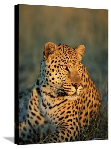 Male Leopard, Panthera Pardus, in Captivity, Namibia, Africa-Ann & Steve Toon-Stretched Canvas Print