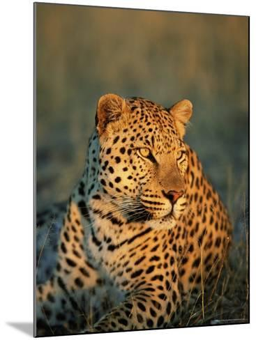 Male Leopard, Panthera Pardus, in Captivity, Namibia, Africa-Ann & Steve Toon-Mounted Photographic Print
