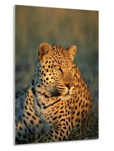 Male Leopard, Panthera Pardus, in Captivity, Namibia, Africa-Ann & Steve Toon-Metal Print