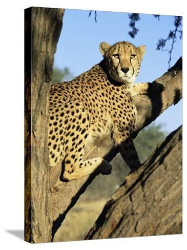 Cheetah, Acinonyx Jubartus, Sitting in Tree, in Captivity, Namibia, Africa-Ann & Steve Toon-Stretched Canvas Print