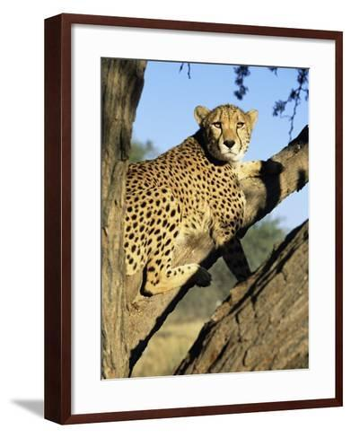 Cheetah, Acinonyx Jubartus, Sitting in Tree, in Captivity, Namibia, Africa-Ann & Steve Toon-Framed Art Print