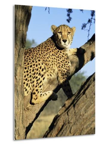 Cheetah, Acinonyx Jubartus, Sitting in Tree, in Captivity, Namibia, Africa-Ann & Steve Toon-Metal Print
