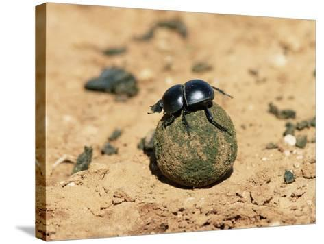 Flightless Dung Beetle Rolling Brood Ball, Addo National Park, South Africa, Africa-Ann & Steve Toon-Stretched Canvas Print