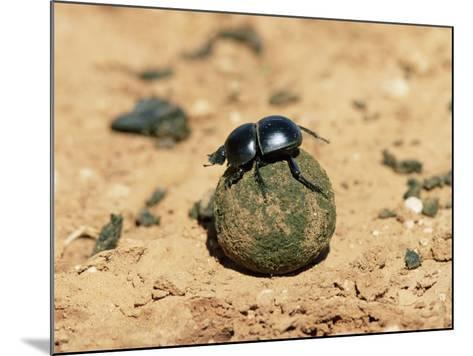Flightless Dung Beetle Rolling Brood Ball, Addo National Park, South Africa, Africa-Ann & Steve Toon-Mounted Photographic Print