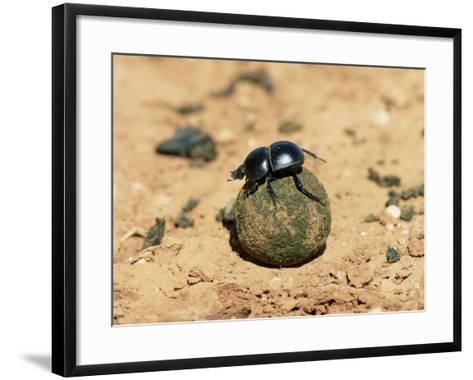 Flightless Dung Beetle Rolling Brood Ball, Addo National Park, South Africa, Africa-Ann & Steve Toon-Framed Art Print