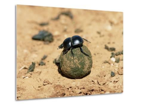 Flightless Dung Beetle Rolling Brood Ball, Addo National Park, South Africa, Africa-Ann & Steve Toon-Metal Print