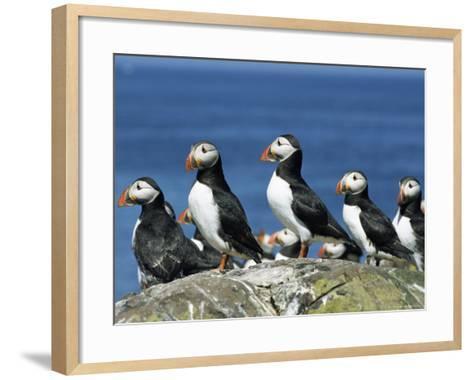 Puffins (Fratercula Arctica), Farne Islands, off Northumbria, England, United Kingdom, Europe-Ann & Steve Toon-Framed Art Print