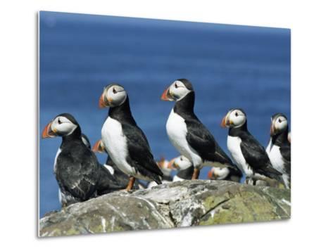 Puffins (Fratercula Arctica), Farne Islands, off Northumbria, England, United Kingdom, Europe-Ann & Steve Toon-Metal Print
