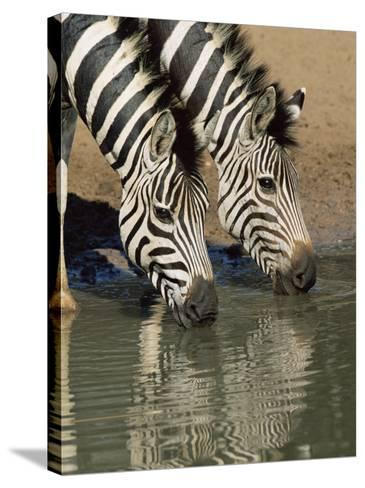 Two Burchell's Zebra, Equus Burchelli, Drinking, Mkhuze Game Reserve, South Africa-Ann & Steve Toon-Stretched Canvas Print