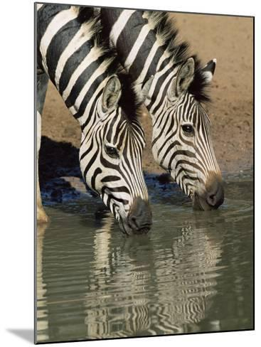 Two Burchell's Zebra, Equus Burchelli, Drinking, Mkhuze Game Reserve, South Africa-Ann & Steve Toon-Mounted Photographic Print