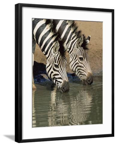 Two Burchell's Zebra, Equus Burchelli, Drinking, Mkhuze Game Reserve, South Africa-Ann & Steve Toon-Framed Art Print