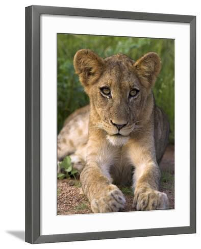 Lion Cub, Panthera Leo, in Kruger National Park Mpumalanga, South Africa-Ann & Steve Toon-Framed Art Print