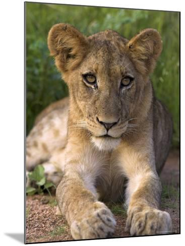 Lion Cub, Panthera Leo, in Kruger National Park Mpumalanga, South Africa-Ann & Steve Toon-Mounted Photographic Print