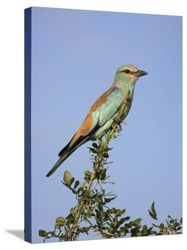 European Roller (Coracias Garrulus), Kruger National Park, South Africa, Africa-Ann & Steve Toon-Stretched Canvas Print