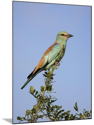 European Roller (Coracias Garrulus), Kruger National Park, South Africa, Africa-Ann & Steve Toon-Mounted Photographic Print