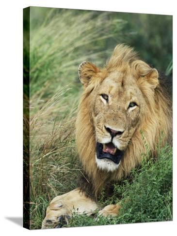Male Lion, Panthera Leo, Kruger National Park, South Africa, Africa-Ann & Steve Toon-Stretched Canvas Print