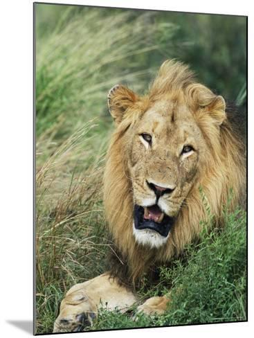 Male Lion, Panthera Leo, Kruger National Park, South Africa, Africa-Ann & Steve Toon-Mounted Photographic Print