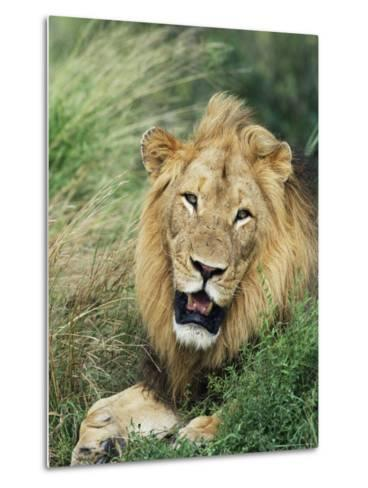 Male Lion, Panthera Leo, Kruger National Park, South Africa, Africa-Ann & Steve Toon-Metal Print