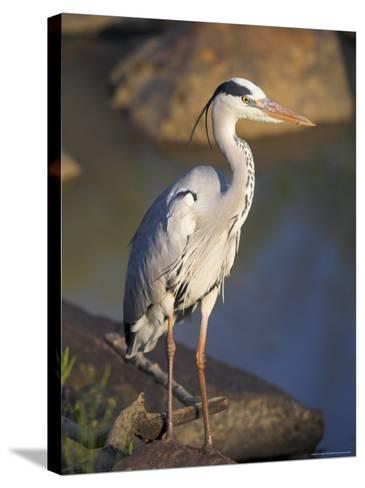Grey Heron (Ardea Cinere), Kruger National Park, Mpumalanga, South Africa, Africa-Ann & Steve Toon-Stretched Canvas Print