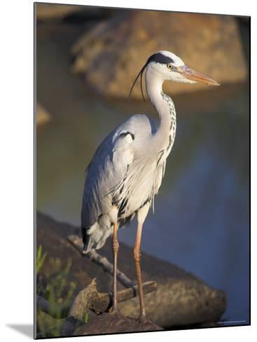 Grey Heron (Ardea Cinere), Kruger National Park, Mpumalanga, South Africa, Africa-Ann & Steve Toon-Mounted Photographic Print