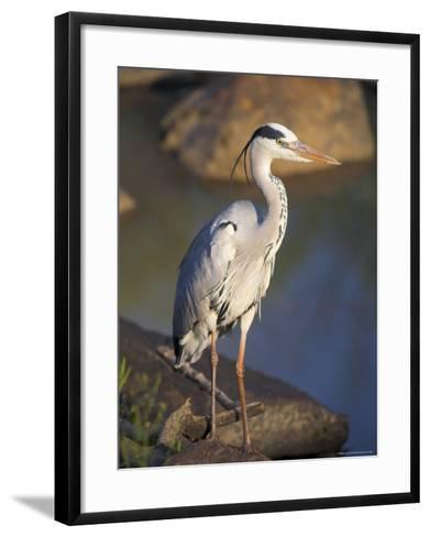 Grey Heron (Ardea Cinere), Kruger National Park, Mpumalanga, South Africa, Africa-Ann & Steve Toon-Framed Art Print
