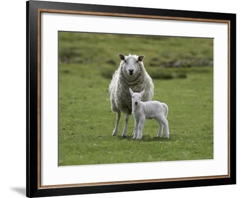 Ewe with Lamb, Scotland, United Kingdom, Europe-Ann & Steve Toon-Framed Art Print