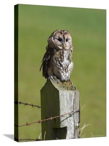 Tawny Owl (Strix Aluco), Captive, Perched, United Kingdom, Europe-Ann & Steve Toon-Stretched Canvas Print