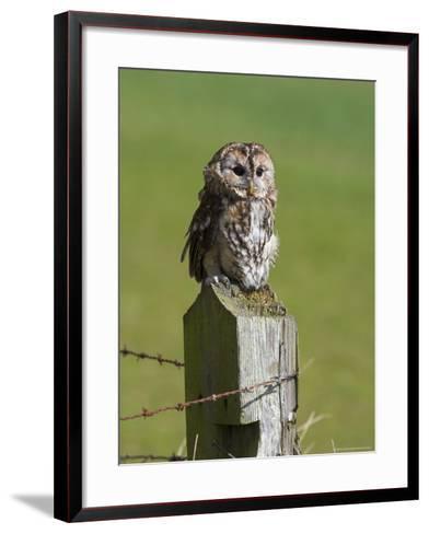 Tawny Owl (Strix Aluco), Captive, Perched, United Kingdom, Europe-Ann & Steve Toon-Framed Art Print