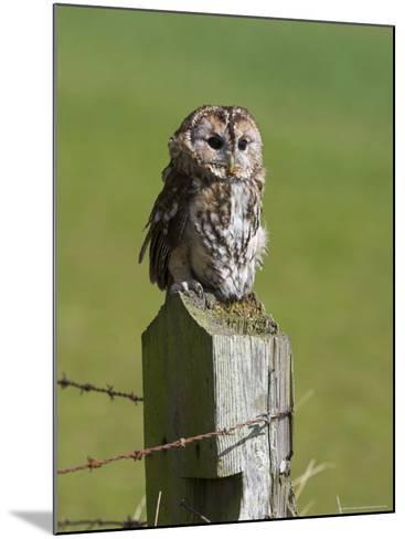 Tawny Owl (Strix Aluco), Captive, Perched, United Kingdom, Europe-Ann & Steve Toon-Mounted Photographic Print