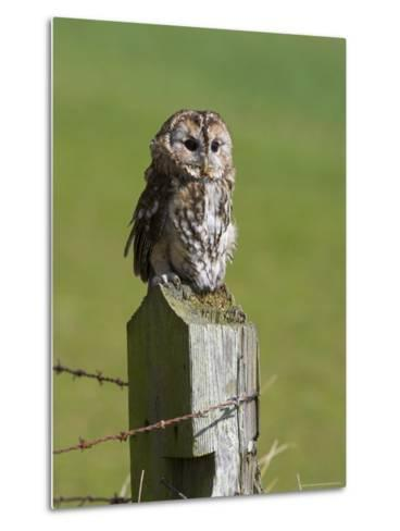 Tawny Owl (Strix Aluco), Captive, Perched, United Kingdom, Europe-Ann & Steve Toon-Metal Print