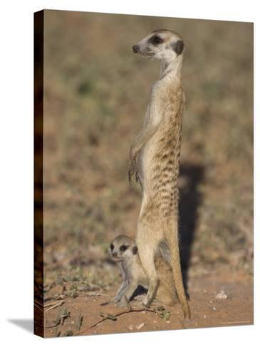 Meerka (Suricata Suricatta) with Young, Kgalagadi Transfrontier Park, South Africa, Africa-Ann & Steve Toon-Stretched Canvas Print