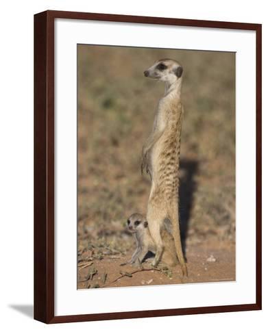 Meerka (Suricata Suricatta) with Young, Kgalagadi Transfrontier Park, South Africa, Africa-Ann & Steve Toon-Framed Art Print