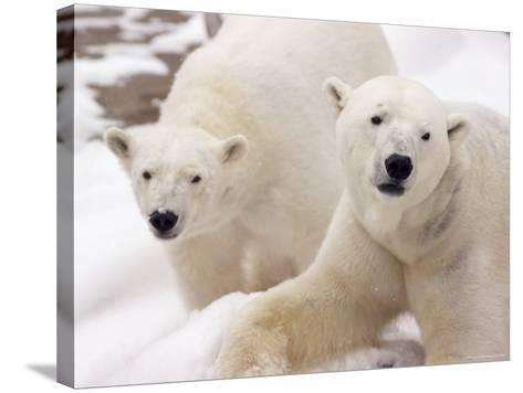 Close-up of Two Polar Bears-James Gritz-Stretched Canvas Print