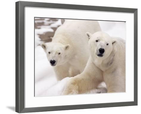 Close-up of Two Polar Bears-James Gritz-Framed Art Print