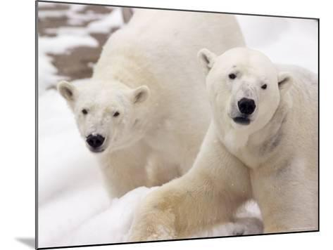 Close-up of Two Polar Bears-James Gritz-Mounted Photographic Print