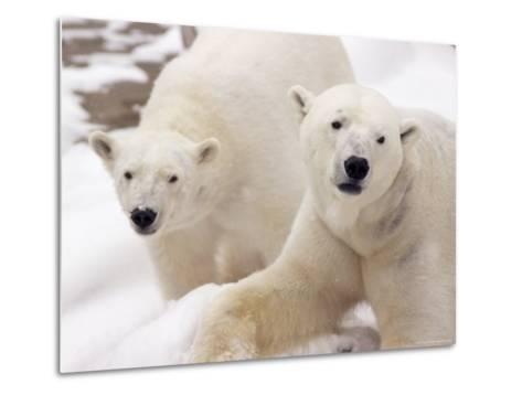 Close-up of Two Polar Bears-James Gritz-Metal Print