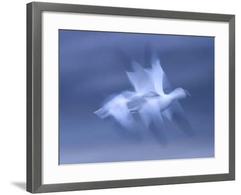 Snow Goose, (Anser Caerulescens), Bosque Del Apache, Soccoro, New Mexico, USA-Thorsten Milse-Framed Art Print
