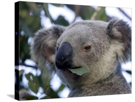 Koala, (Phascolartos Cinereus), Magnetic Island, Queensland, Australia-Thorsten Milse-Stretched Canvas Print