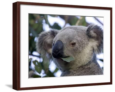 Koala, (Phascolartos Cinereus), Magnetic Island, Queensland, Australia-Thorsten Milse-Framed Art Print