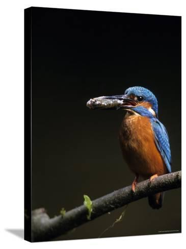 Kingfisher, (Alcedo Atthis), Bielefeld, Germany-Thorsten Milse-Stretched Canvas Print
