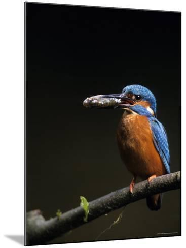 Kingfisher, (Alcedo Atthis), Bielefeld, Germany-Thorsten Milse-Mounted Photographic Print