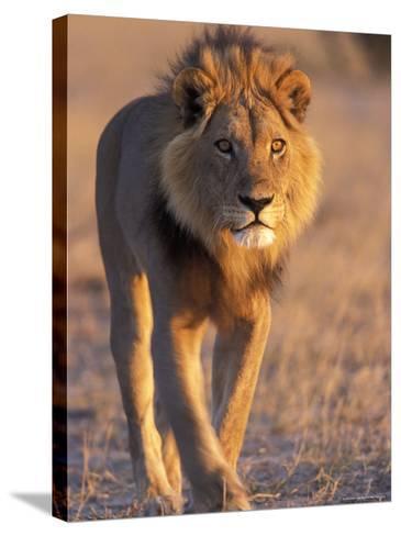 Lion, (Panthera Leo), Savuti, Chobe National Park, Botswana-Thorsten Milse-Stretched Canvas Print