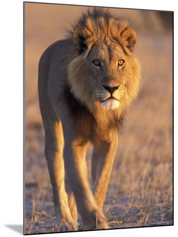 Lion, (Panthera Leo), Savuti, Chobe National Park, Botswana-Thorsten Milse-Mounted Photographic Print
