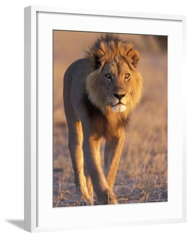 Lion, (Panthera Leo), Savuti, Chobe National Park, Botswana-Thorsten Milse-Framed Art Print