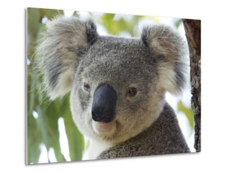 Koala, (Phascolartos Cinereus), Magnetic Island, Queensland, Australia-Thorsten Milse-Metal Print