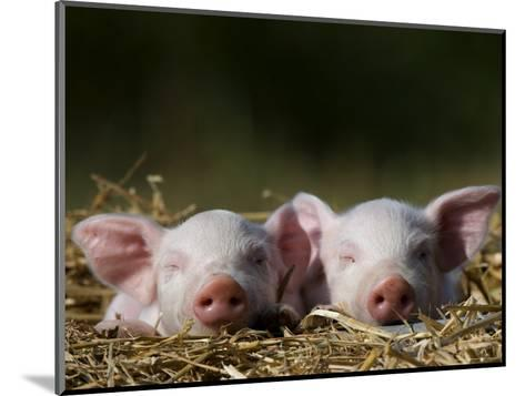 Domestic Pig, Huellhorst, Germany-Thorsten Milse-Mounted Photographic Print