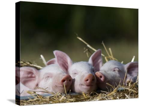 Domestic Pig, Huellhorst, Germany-Thorsten Milse-Stretched Canvas Print