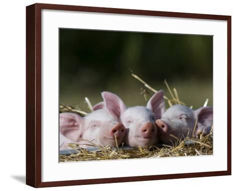 Domestic Pig, Huellhorst, Germany-Thorsten Milse-Framed Art Print