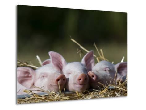 Domestic Pig, Huellhorst, Germany-Thorsten Milse-Metal Print